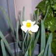 070330 水仙初咲き