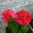 赤い丸々な花