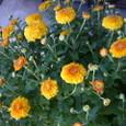 小さい菊の花