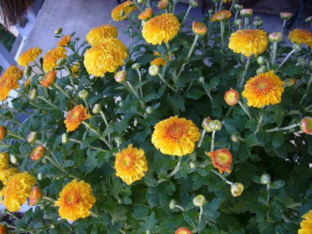 菊の画像 p1_24