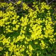 黄色い花080329
