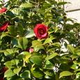 07 赤い椿の花