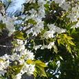 07よかとぴあ通りの桜